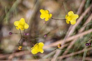 Zigzag bladderwort - Utricularia subulata