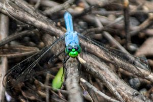 Blue Dasher Dragonfly - blue dragonfly with long wings, and its face or head may be bright green