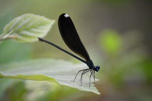 Ebony Jewelwing Damselfly (female) has a dark blue body and midnight blue or black wings with a white spot at the tip