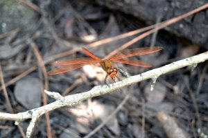 Needham's Skimmer Dragonfly near water in Florida is a dragonfly with orange wings, orange abdomen, and a brown thorax