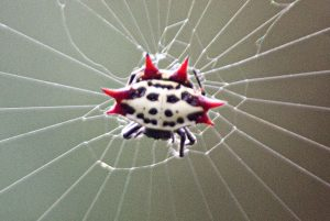 Spiny Orb Weaver spider has a white and black or yellow and black body with red spiny points around its abdomen