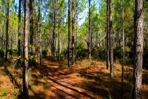 Pine trail at Barr Hammock Preserve South Trails