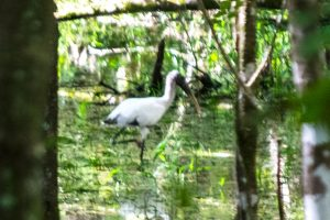 White Ibis at Barr Hammock Preserve South Trails