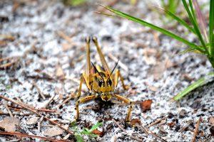 Colorful grasshopper up close