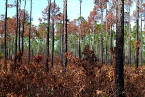 Image of forest at Bayard Conservation Area after a controlled burn