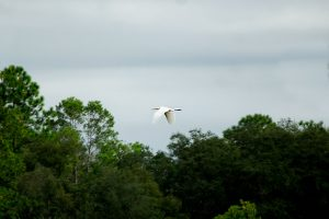 Great white heron over Lake Blossom