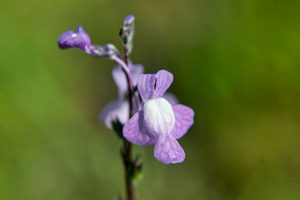blue toadflax - Linaria canadensis