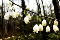 Blossoms of Mountain Silverbell - Halesia tetraptera