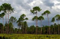 Longleaf Pine at Dunn's Creek