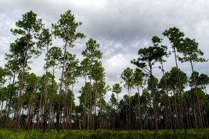 Longleaf Pine at Dunn's Creek