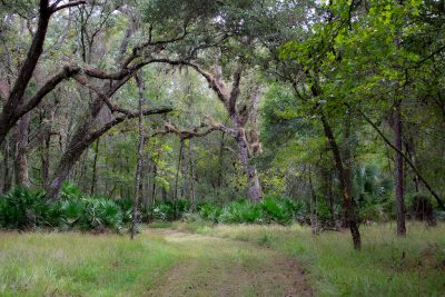 Live Oak on Trail