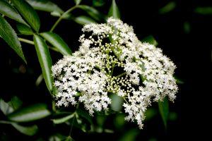 Elderberry - Sambucus nigratiny white flower clusters on bush