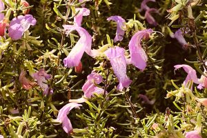 Etoniah Rosemary