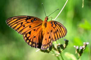 Gulf Fritallary butterfly in North Central Florida with orange body, orange wings, black stripes and spots