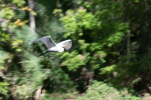 White heron in flight