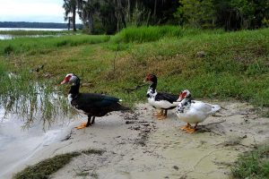 Three ducks at shore