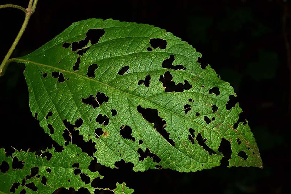 Chewed Leaf Closeup
