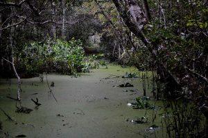 Swamp at Lake Alto, Treefrog Trail