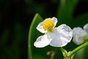 Lanceleaf Arrowhead Flower