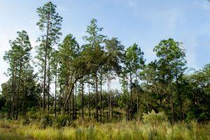 Longleaf or Slash Pines
