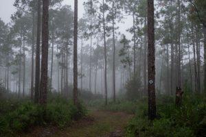 Pine in Morning Mist at Etoniah Creek State Forest at Florahome, Florida