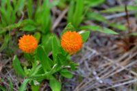 Polygala lutea - Orange Milkwort