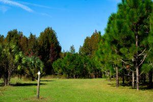 Less shade among young pine