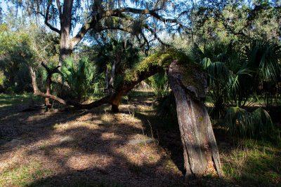 Fallen tree with resurrection fern