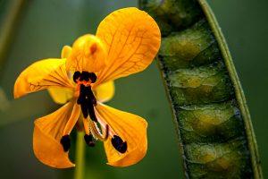 partridge pea - Chamaecrista fasciculata, yellow or orange petals with long, curled stamen and dark spots, pea pod
