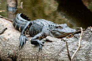 Alligator in Micanopy, FL