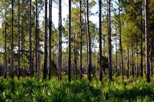 An abundance of pine, palm, and palmetto