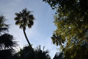 Majestic palm rising from the forest to remind you that you are in Florida