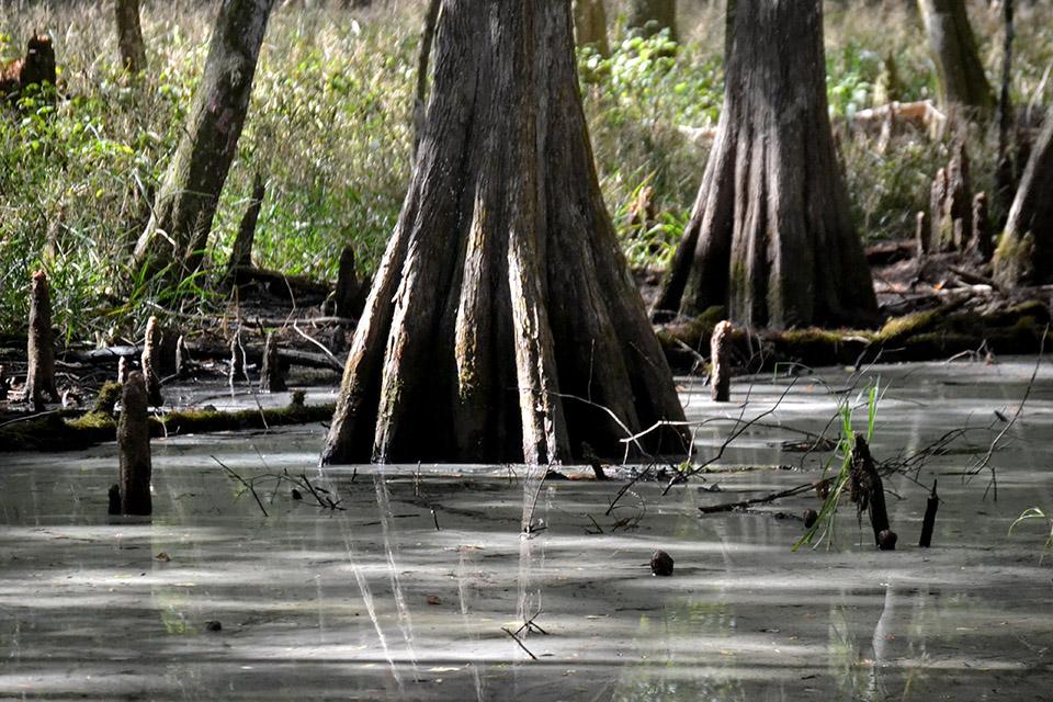Large Cypress in Wetlands at Prairie Creek Preserve