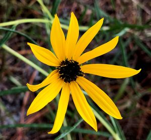 Purpledisk Sunflower