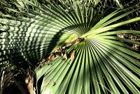 Saw Palmetto with Shadow