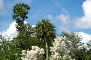 Sabal palm and leafy brush turning to seed