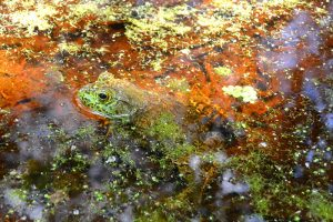 Frog in the swamp