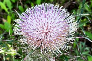 Thistle - Cirsium horridulum