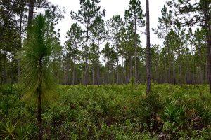 Longleaf Pine at LEAFS