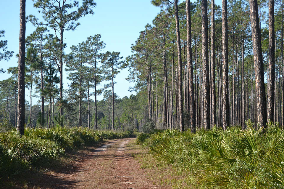 Welaka State Forest Trail in Putnam County Florida