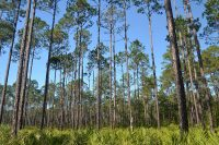 The trails morph quickly from old growth, leafy evergreens to open fields of longleaf pine