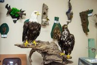 American bald eagle among hundreds of other native species in Georgia museum
