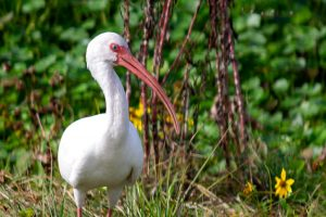 White Ibis at Sweetwater Wetlands Park
